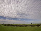Herd of African Buffalo, Syncerus Caffer, under a Cloudy Sky Photographic Print by Beverly Joubert