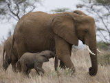 Elephant Calf Finds Shelter Amid its Mother's Legs Photographic Print by Michael Nichols