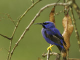 Male Purple Honeycreeper Perched on a Branch Photographic Print by Tim Laman