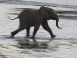 Juvenile Elephant on the Move in Samburu National Reserve Photographic Print by Michael Nichols