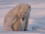 Polar Bear with Her Cubs in a Snowy Landscape at Twilight Fotografisk tryk af Norbert Rosing