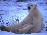Polar Bear Sits in the Snow Photographic Print by Nick Norman