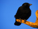 Crow Perched on a Branch Photographic Print by Nick Norman