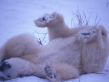 Polar Bear Rolling in the Snow Photographic Print by Nick Norman
