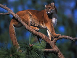 Cougar Perches on a Tree Branch Photographic Print by Nick Norman