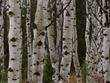 Detail of the Trunks of a Stand of Aspen Trees Photographic Print by William Allen