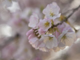 Close Up of a Cherry Blossom Photographic Print by Hannele Lahti