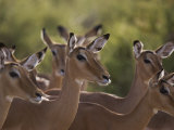 Group of Alert Impalas in Samburu National Reserve Photographic Print by Michael Nichols