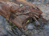 Timber Lying in a Stream of Snow-Melt Fotografie-Druck von Kent Kobersteen