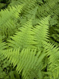 Ferns at Longwood Gardens Photographic Print by Scott Warren