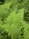 Ferns at Longwood Gardens Photographic Print by Scott Warren