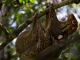 Flying Lemur in Bako National Park Photographic Print by Mattias Klum