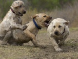 Three Labrador Puppies Play-Fighting in the Dirt Photographic Print by Roy Toft