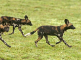 Cape Hunting Dogs, Lycaon Pictus, Trotting Photographic Print by Jim And Jamie Dutcher