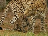 Leopard, Panthera Pardus, Grooming Her Cub Fotografisk tryk af Beverly Joubert