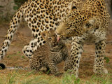 Leopard, Panthera Pardus, Grooming Her Cub Photographic Print by Beverly Joubert