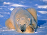 Polar Bear (Ursus Maritimus). Churchill, Manitoba Canada Photographic Print by Nick Norman