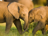 African Elephant (Loxodonta Africana) Calves Entwining Trunks Photographic Print by Beverly Joubert