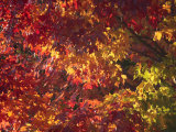 Sugar Maple Tree Leaves Glow Red and Yellow in Autumn Photographic Print by George Grall