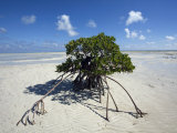 Lone Mangrove Tree on a Sand Spit at Andros Island Photographic Print by Scott Warren