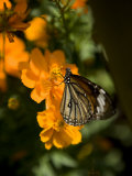Butterfly Sipping Nectar from a Cosmos Flower Photographic Print by Rebecca Hale