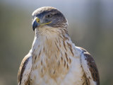 Hawk That Is Part of a Raptor Free Flight Program Photographic Print by Scott Warren