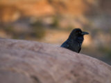 Raven on the Island-In-The-Sky in Canyonlands National Park, Utah Photographic Print by Scott Warren
