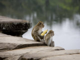 Monkeys Eating Corn at the Waterside at Angkor Wat Photographic Print by Rebecca Hale