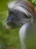 Side View Portrait of a Red Colobus Monkey Photographic Print by Michael Melford