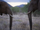Pair of Elephants in Samburu National Park Photographic Print by Michael Nichols