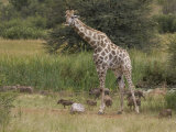 Reticulated Giraffe in Grassland with Warthogs under Foot Photographic Print by Roy Toft