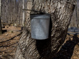 Bucket Collects Maple Tree Sap to Boil Down into Maple Syrup Photographic Print by Stephen St. John