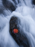 Maple Leaf on Rock in Falls of Mogami River Photographic Print by Michael S. Yamashita
