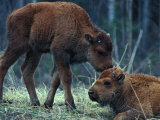 Two Young Wood Bison Photographic Print by Nick Norman