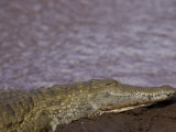 Crocodile on a Riverbank in Samburu National Park Photographic Print by Michael Nichols