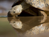 Leopard Tortoise Drinking from a Mud Puddle Photographic Print by Michael Nichols