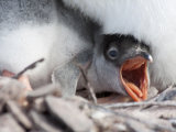 Gentoo Penguin Chick Beggin at it's Parents Feet Fotografie-Druck von Kent Kobersteen