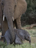 Newborn Elephant with its Mother in Samburu National Park Photographic Print by Michael Nichols