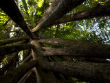 Tree Buttress Roots in the Riverine Forest of Bako National Park Photographic Print by Mattias Klum