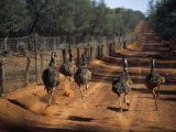 Five Emus Race Along the Dirt Road That Follows the Wire Fence That Stretches 3307 Miles Photographie par Medford Taylor