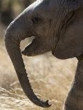 Lost Elephant Calf Crying for Her Mother Photographic Print by Michael Nichols