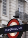 Pigeon Perched on a London Underground Sign Photographic Print by Eightfish