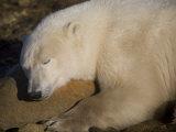 Polar Bear Sleeps on a Rock Photographic Print by Taylor S. Kennedy