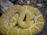 Rattlesnake at the Arizona-Sonora Desert Museum Near Tucson Photographic Print by Scott Warren