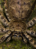 Large Spider Resting on a Tree Near a Bioko Island Beach Photographic Print by Ian Nichols