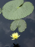 Yellow Water Lily and Pads at Longwood Gardens Photographic Print by Scott Warren