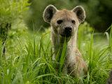 Spotted Hyena (Crocuta Crocuta)Portrait Photographic Print by Beverly Joubert