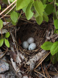 Towhee Nest with 3 Eggs in It. Towhees are Ground Nesting Birds Photographic Print by George Grall
