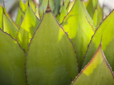Agave Plant at the Arizona-Sonora Desert Museum Photographic Print by Scott Warren