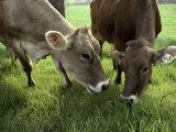 Two Brown Swiss Cows Graze on Fresh Grass at a Dairy Farm Reproduction photographique par Paul Damien